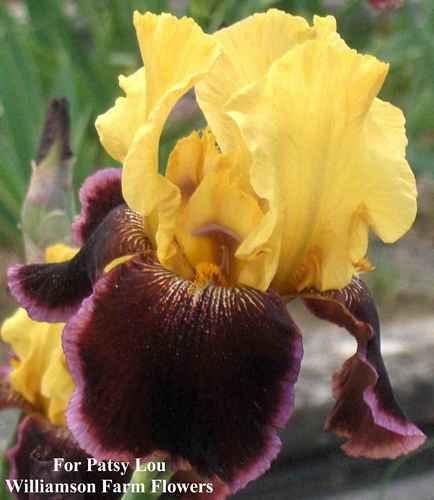 Tall Bearded Iris for Patsy Lou 1993 PRESALE Shipping Begins June 1st | eBay