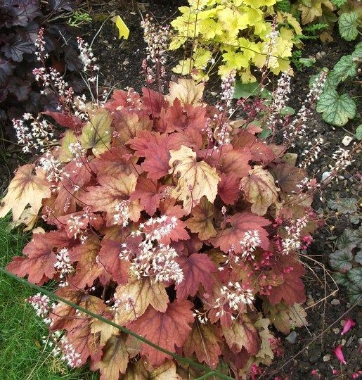 Sweet Tea 9 Heucheras And 1 Heucherella In My Garden