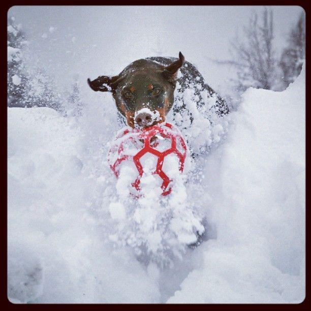 Playing winter ball, doberman-style