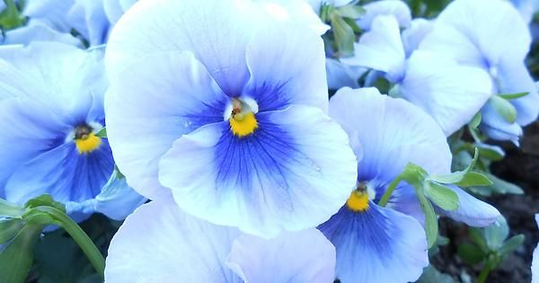 Pansies in soft April rains Fill their stalks with honeyed sap Drawn from Earth's prolific lap.         Bayard Taylor