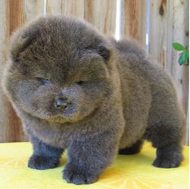 Baby chow chow !!