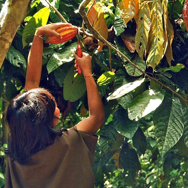 """De inheemse gemeenschap noemt de cacao die groeit langs de rivier Ene """"Chuncho""""🍫 Dat is de cacao die we gebruiken voor onze extra pure chocolade 85% 🙏 Wil je meer weten over het verhaal van onze extra pure chocolade? Neem snel een kijkje op onze website 👉 www.lovingearth.nl/blog/de-geheimen-van-extra-donkere-chocolade-85/ (link in bio)⠀ ⠀ 🍫 Loving Earth = echte chocolade ⠀ 🍃 Biologisch = voor de gezondheid (en je droomlichaam natuurlijk)⠀ 🌱 Vegan = met liefde voor de dieren⠀ 🌽 Zonder…"""