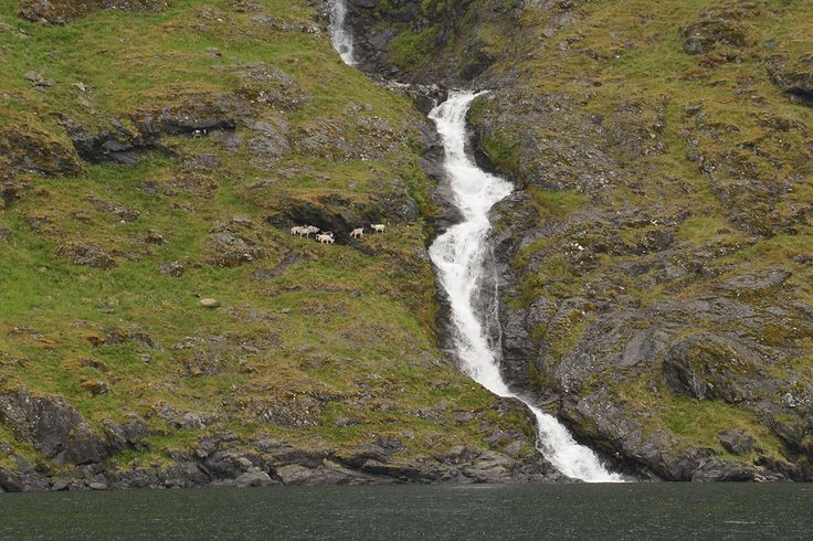Goats like the Norwegian mountaines near the fjord; there all always places for hiding well.
