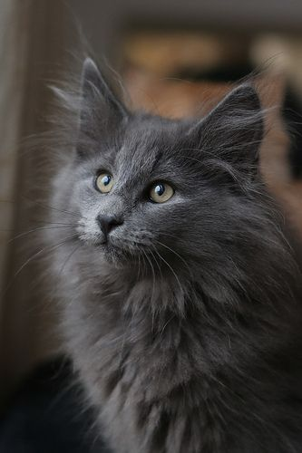 Solid blue male kitten Falstaff 10 weeks old | by Titran's Norsk Skogkatt