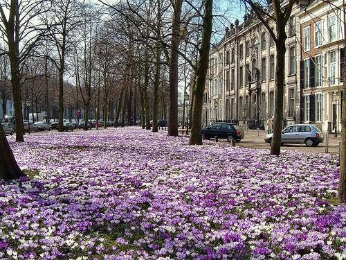 Lange Voorhout den Haag l krokusjes in de lente l springtime l Den Haag l The Hague l Dutch l The Netherlands Zuid Holland