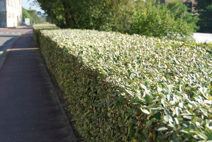Elaeagnus × ebbingei: Winter Flowering Hedges - Hedge Xpress