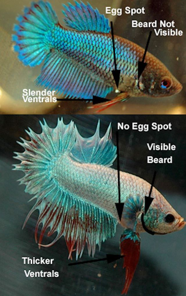 How to determine the gender of a betta fish the o 39 jays for Baby betta fish