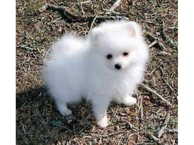 Teacup Pomeranian Puppies Available Pomeranian Puppy Cute