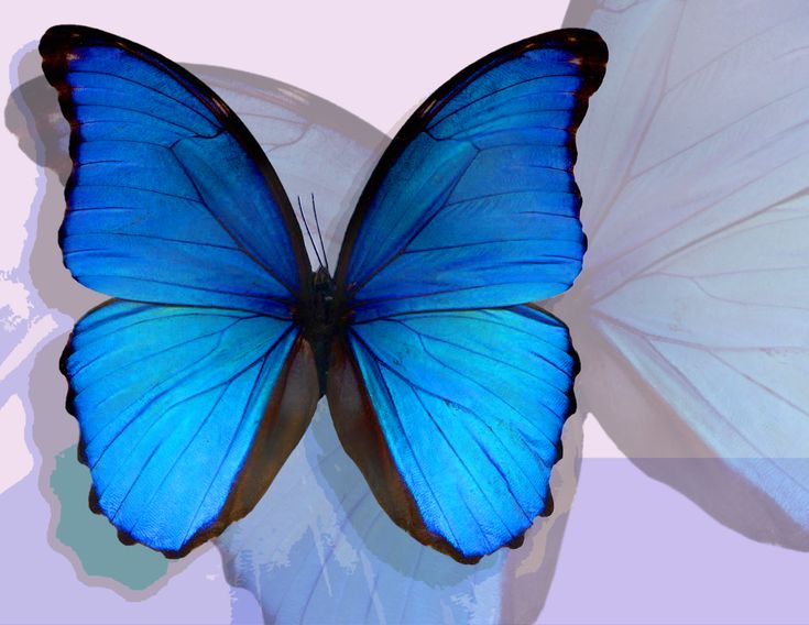 French word for butterfly is papillon......ears of a papillon is where the breed got it's name.