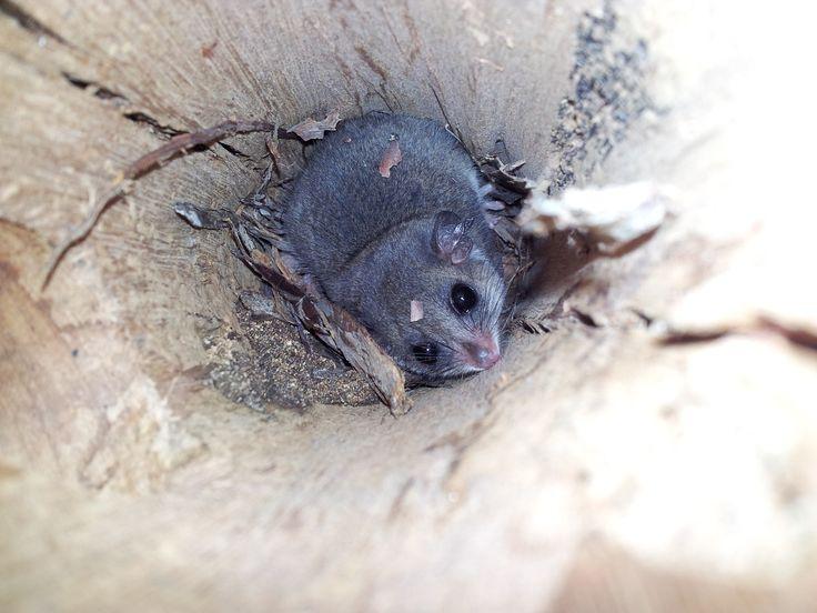 Pygmy Possum, photo by Paul Burcher
