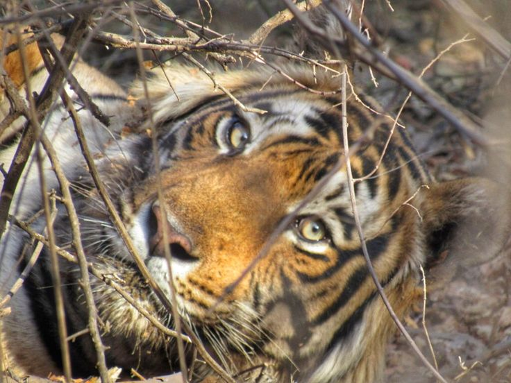The eye of the tiger. Came across this beauty on safari in #Ranthambore #India  www.finisterra.ca