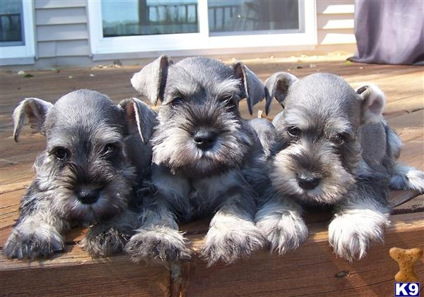 Schnauzer Drawing Easy: 17+ Images About SCHNAUZERS !!!! On Pinterest