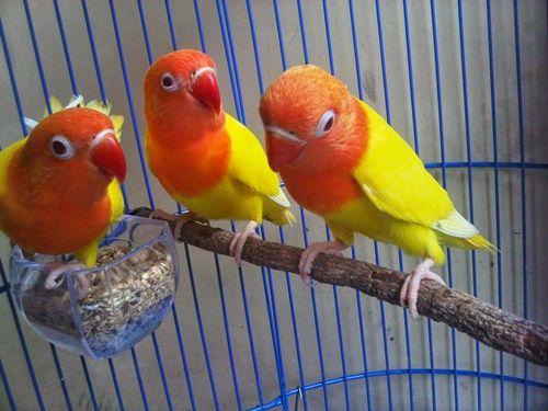 BudidayaBurung.XYZ – Daftar harga aneka jenis burung lovebird terbaru update bulan ini. Berburu burung lovebird dipasaran memang sangat menyenangkan, melihat aneka ragam jenis labet yang memiliki perawakan imut serta warna bulu yang sangat bervariasi menjadi kepuasan tersendiri. Semakin populernya varian LB di tanah air berakibat pada naiknya nilai jual sang burung, tercatat dari tahun ke tahun harga burung lovebird