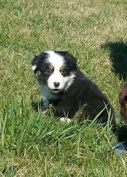 Litter of 4 Australian Shepherd puppies for sale in MIDDLETOWN, OH. ADN-67818 on PuppyFinder.com Gender: Male(s) and Female(s). Age: 7 Weeks Old