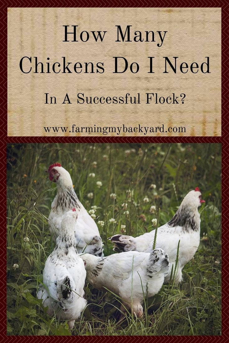 It's time to buy chicks and you're not sure how many to get. Or maybe you are thinking about breeding your own stock. How many chickens do you need?