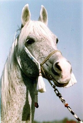 "BANDOLA (PL) 26.3.1948 26.3.1983 [her 35th birthday] ""The Queen of Poland."" Grey Pure Polish Arabian mare. Witraz {Ofir x Makata by Fetysz} x Balalajka {Amurath Sahib x Iwonka III by Ibn-Mahomet} Bred by Albigowa Stud, Poland. Transferred to Janów Podlaski Stud when Albigowa Stud was closed in 1961. Full Sister to *Bask."