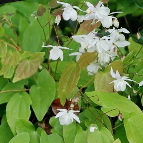 Epimedium × youngianum 'Niveum'