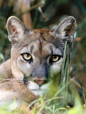 Beautiful Florida State Animal, Florida Panther (I grew up hearing one at the old home place. Loved that sound but made sure I wasn't alone outside.)