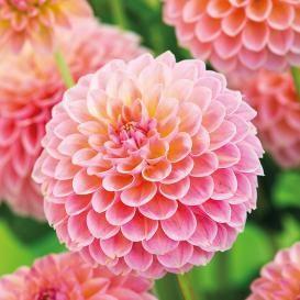 Dahlia Bulbs For Sale | Buy Flower Bulbs in Bulk & Save