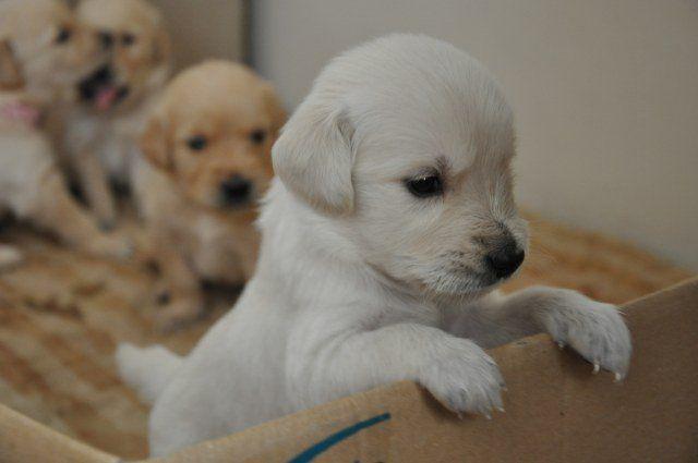 golden köpek yavruları - Google'da Ara