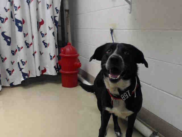 ***SUPER URGENT! 1/4/17  -SWEET BOY LONGS FOR LOVING FAMILY! Houston - ** watch my video and take me home with you!!** This DOG - ID#A474601 I am a male, black Labrador Retriever mix. My age is unknown. I have been at the shelter since Dec 27, 2016. Harris County Public Health and Environmental Services. https://www.facebook.com/harriscountyanimalshelterpets/videos/1364587906938337/