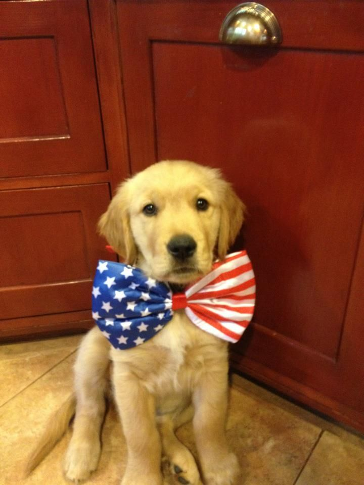 : Patriots Puppys, Bowtie, Bows Ties, Golden Retrievers, Bow Ties, 4Th Of July, Baby Dogs, American Dogs, Adorable Animal