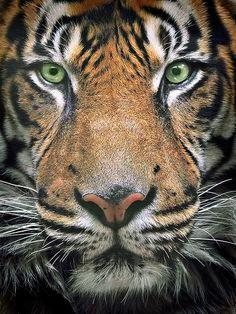 4736ca917a3501d1d0c60e4b3b51c72c--milan-tiger-tiger.jpg (236×314)