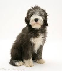 Image result for bearded collie puppies