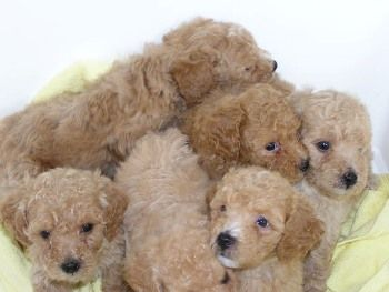 Donde Comprar un Caniche Toy http://www.mascotadomestica.com/criaderos-de-perros/donde-comprar-un-caniche-toy.html