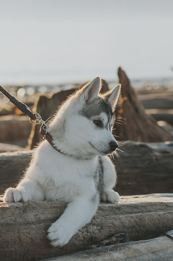 Puppy Love Hilo The Siberian Husky Pup Cute Animals Cute Baby