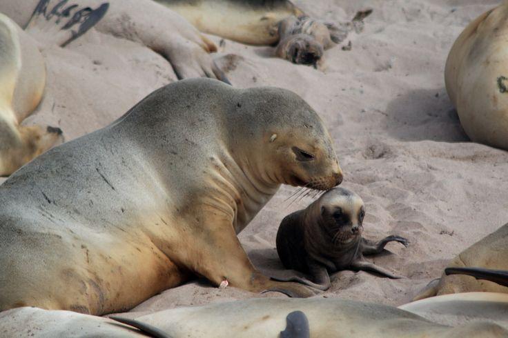 Seal mum and her cute pup #subantarctic ©K Ovsyanikova