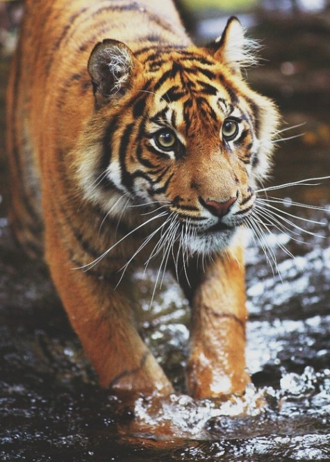 tiger: Big Cat, Animal Planets, Wild, Animalito De, Animal Tigers, Animal Things, Beautiful Animal,  Panthera Tigri, Furry Friends