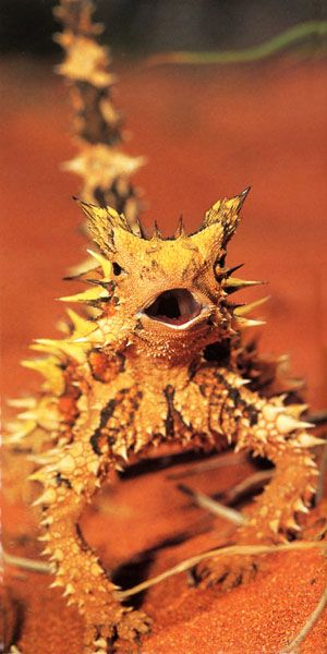 """What a cutey - the thorny devil lizard or Moloch - features a spiny """"false head"""" on the back of its neck, and the lizard presents this to potential predators by dipping its real head. The thorny devil's body is ridged in structure, and this enables the animal to collect water from any part of its body. That water is then conveyed to its mouth. Sometimes seen standing in a puddle of water sucking it through it's feet and then licking it's lips."""