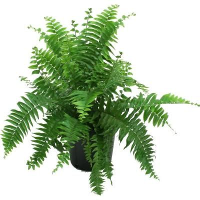 POSSIBLE FERN TO PLANT FOR TABLES  Delray Plants 8-3/4 in. Macho Fern in Pot-10MACHO - The Home Depot