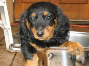 long haired dachshund | Long Hair Miniature Dachshunds 93.43 miles