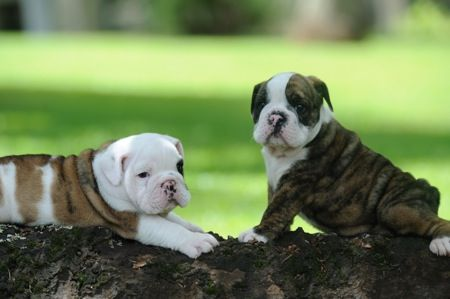 Two times the epic baby bulldog cuteness.