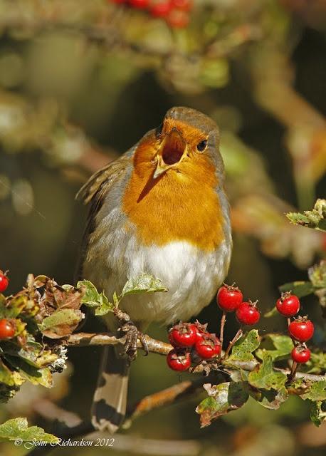 And the red-breasted robin came bob, bob, bobbin-a-long.