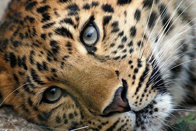la diff rence entre un l opard un jaguar un gu pard et une panth re c 39 est que le jaguar a. Black Bedroom Furniture Sets. Home Design Ideas