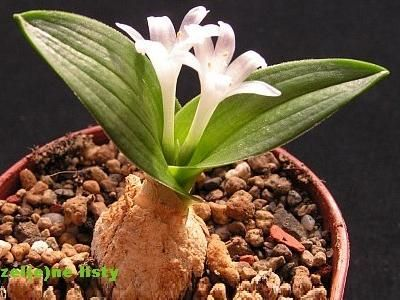 Polyxena ensifolia (Hyacinthaceae)