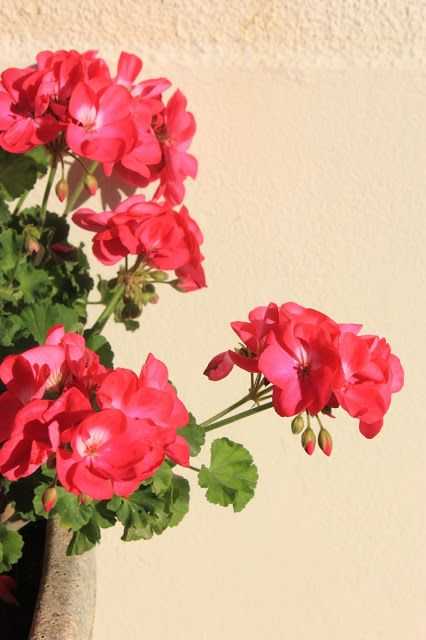 Souped-up Garden: Scouting Out Montbron, #geraniums, town in the Charente, France, http://soupedupgarden.blogspot.fr/2015/11/scouting-out-montbron.html