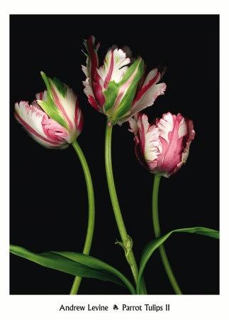 fresh tulips everyday = heaven