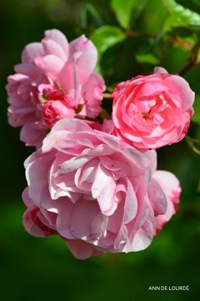 Rose, Rosa Bonica, Summer 2015, in the Garden.