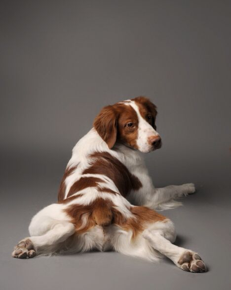 Brittany Spaniel ... This is their pose. Classic