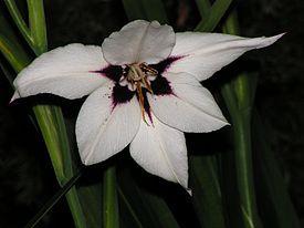 Gladiolus murielae - Acidanthera - 20100819 252.jpg