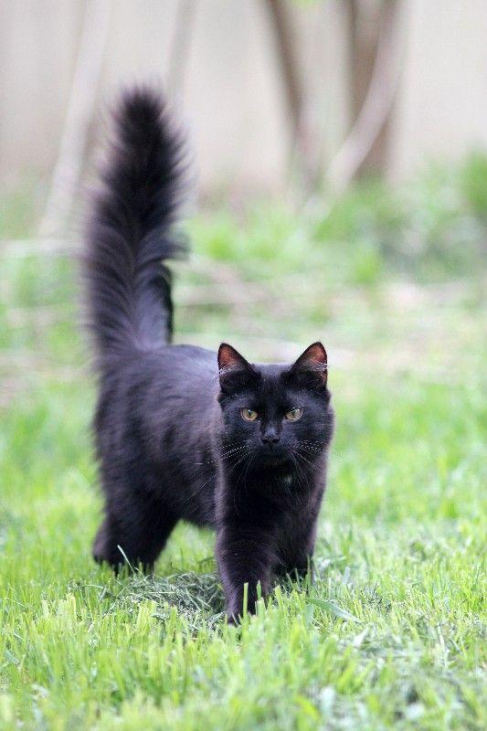 Long haired black burmese cat