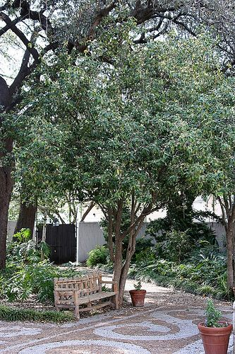 Tea Olive Trees (Osmanthus fragrans)! Very fragrant tree from such tiny flowers. A great addition to any garden:)
