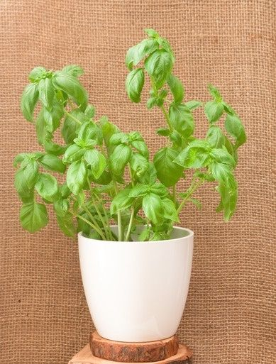 how to grow basil from seed indoors a start frozen and sauces. Black Bedroom Furniture Sets. Home Design Ideas