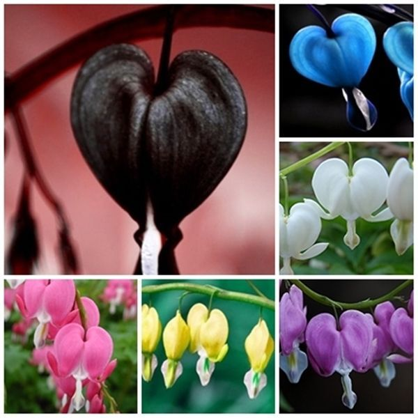 Who knew Bleeding hearts came in such variety? Dicentra Spectabilis Bleeding Heart classic cottage garden plant 300 pcs seeds