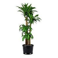 Do you want a striking houseplant that needs little care and will even tolerate neglect? The massangeana cane, or corn plant, fits that description. The plant's leaves are its best feature--bright green with a yellow stripe. Plus, it tolerates low light and humidity and it does not need--or want--much watering.