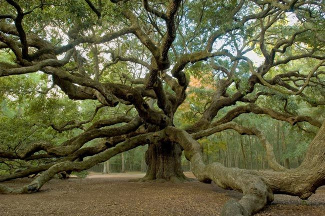 The Angel Oak on Johns Island SC is believed to be between 500 and 1,500 years old, making it one of the oldest live oaks in the country.